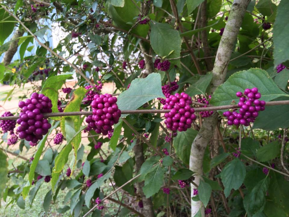 American Beautyberry. It's an attractive landscape plant. The fruit are edible, have been used to make jellies and jams.