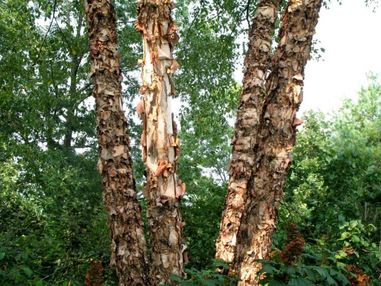 River birch betula nigra blackwood educational land